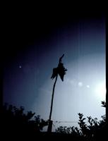 eine tote kr�he zur abschreckung ihrer artgenossen an einem pfahl aufgeh�ngt. aufnahme: pont d'aubenas (cevennes), am 03. september 2005